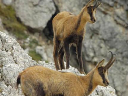 I camosci tutelati nell'area del Parco nazionale dei monti Sibillini