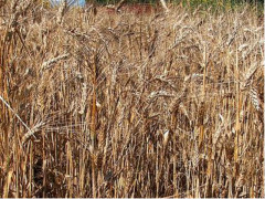 grano, agricoltura