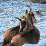 Primi cuccioli di camoscio nei Monti Sibillini