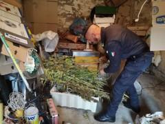 Sequestro marijuana ad opera della GDF di Macerata e Fermo