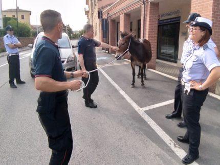 Mulo recuperato a San Severino